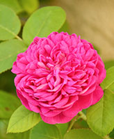 DAMASK ROSE TREE